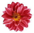 Red Flower On  Isolated White Isolated Background With Clipping Path.  Closeup. Beautiful  Bright Red  Flower For Design. Dahlia. Royalty Free Stock Photography - 97451637