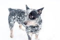 Australian Cattle Dog In Snow Royalty Free Stock Image - 97479066
