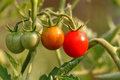 Growing Tomatoes Royalty Free Stock Photography - 97483467
