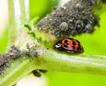 Lady Bug Royalty Free Stock Images - 9750749