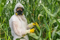GMO Scientist In Coveralls Genetically Modifying Corn Maize Royalty Free Stock Photo - 97500495