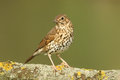 A Stunning Song Thrush Turdus Philomelos Perched On A Lichen Covered Branch. Royalty Free Stock Photography - 97532107
