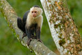 White-headed Capuchin, Black Monkey Sitting On The Tree Branch In The Dark Tropic Forest. Cebus Capucinus In Gree Tropic Vegetatio Royalty Free Stock Photo - 97615335