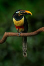 Chestnut-eared Aracari, Pteroglossus Castanostis, Yellow And Black Small Toucan Bird In The Nature Habitat. Exotic Animal In Tropi Stock Photo - 97623440