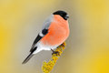 Red Songbird Bullfinch Sitting On Yellow Lichen Branch, Sumava, Czech Republic. Wildlife Scene From Nature. Bullfinch In Forest, Y Royalty Free Stock Photo - 97624165