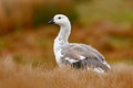 White Bird With Long Neck. White Goose In The Grass. White Bird In The Green Grass. Goose In The Grass. Wild White Upland Goose, C Stock Photo - 97624660
