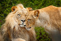 Portrait Of Pair Of African Lions, Panthera Leo, Detail Of Big Animal, Evening Sun, Chobe National Park, Botswana, Africa. Cat In Stock Photos - 97626033