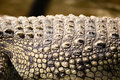 Spikes On Crocodile Skin In The Zoo Royalty Free Stock Photography - 97652167