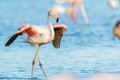 Wild Flamingos In France Stock Images - 97676674