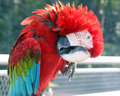 Red Black Colorful Parrot Parakeet Royalty Free Stock Images - 97696949