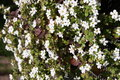Blooming White Flowers Royalty Free Stock Photography - 9770647
