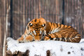 Siberian Tiger In Zoo Royalty Free Stock Image - 9776576