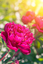 Beautiful Magenta Peonies On A Sunny Green Bokeh Background. Stock Photo - 97700320