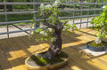 Mahaleb Cherry - Bonsai In The Style Of Stock Images - 97702254
