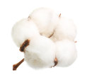 Cotton Plant Flower Isolated Royalty Free Stock Photo - 97719845