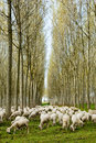 Flock Of Sheep Grazing Royalty Free Stock Photo - 97726455