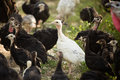 Young Turkey On The Farm Royalty Free Stock Image - 97741626