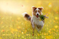 Young Australian Shepherd Carries Bouquet In Mouth Stock Image - 97747421