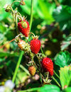 Wild Strawberry Soft Focused Background Stock Photography - 97765642