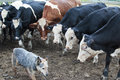 Cows Staring At An Australian Cattle Dog Royalty Free Stock Images - 97813489