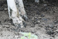 Cow Hooves In The Mud Stock Photo - 97813500