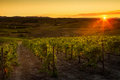 VAL D`ORCIA, TUSCANY/ITALY - Vineyard In Val D`Orcia Royalty Free Stock Photo - 97839295