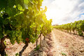 Old Vineyards With Red Wine Grapes In The Alentejo Wine Region Near Evora, Portugal Stock Photos - 97842863