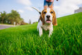 Dog On Green Meadow. Beagle Puppy Walking Royalty Free Stock Photo - 97861435