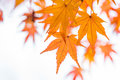 Orange Maple Leaf And Branch. Stock Photography - 97882542