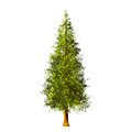 Tree  On White Background Royalty Free Stock Images - 97904189