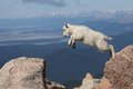 Mountain Goat Kid Jumping For Joy! Stock Image - 97927691