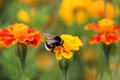 Bumblebee Drink Nectar On Tagetes Flower Royalty Free Stock Photography - 97935337