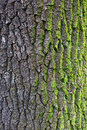 Oak Bark With Moss Royalty Free Stock Photos - 97936598