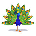 Beautiful Peacock Standing With Green Feathers Out Stock Photo - 97947590