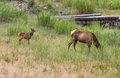 Elks In Yellowstone National Park Stock Images - 97976274