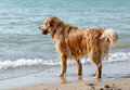 Soggy Doggy On The Beach Stock Photography - 97990082