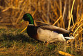 Drake Mallard In Grass Stock Photography - 9808932