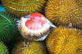 Red Durian Stock Image - 98003421