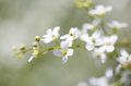 Small White Flowers On The Nature Royalty Free Stock Photos - 98038658