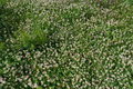 White Clover Wild Meadow Flowers In Field. Nature Vintage Summer Autumn Outdoor Photo Background Royalty Free Stock Image - 98047076