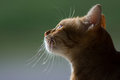 Portrait Of A Cat Royalty Free Stock Photography - 98057867