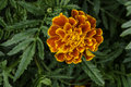 French Marigold Royalty Free Stock Images - 98077889