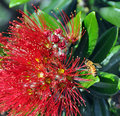 Merry Christmas From New Zealand - Pohutukawa & Bee Royalty Free Stock Images - 98119439