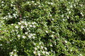 Small White Flowers On Branches Of Cotoneaster Horizontalis Stock Photography - 98133402