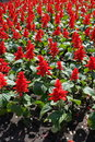 Scarlet Sage Flowers In The Flowerbed Royalty Free Stock Photo - 98133735