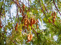 Tamarind On Tree Royalty Free Stock Images - 98172629