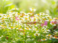 Wild Flowers Chamomile Field Daisy Plant Sunlight Summer Spring Royalty Free Stock Image - 98194046
