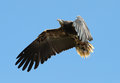 White-headed Vulture Stock Photo - 98213200