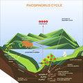 Scheme Of The Phosphorus Cycle, Flats Design Stock Photography - 98218082