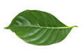 Green Leaf Isolated On White Royalty Free Stock Photography - 98231007